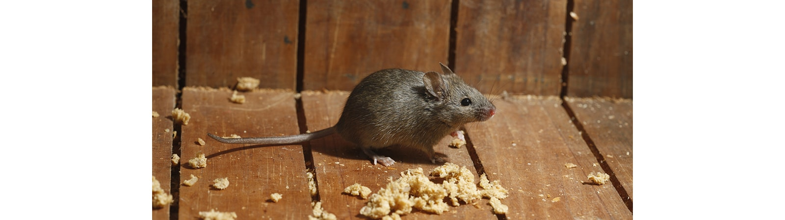Mouse Control from Essex & Herts Pest Control