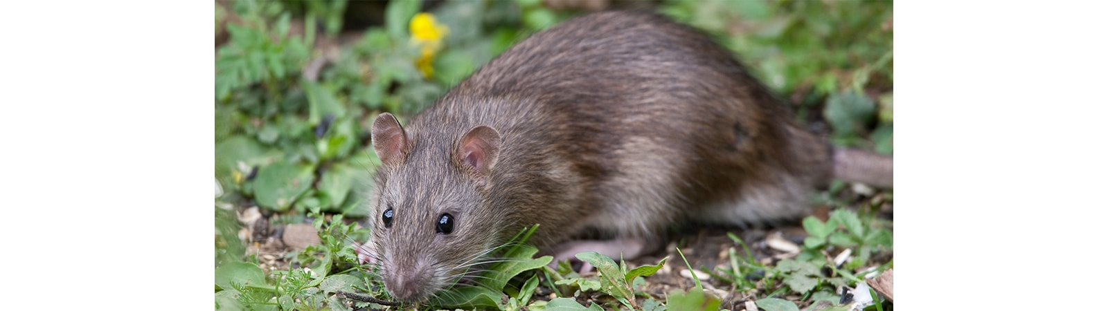 Rat Control from Essex & Herts Pest Control