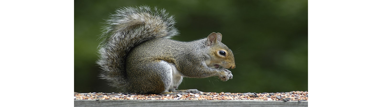 Squirrel Control from Essex & Herts Pest Control